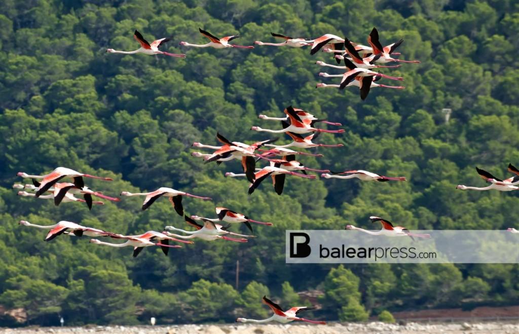 Flamingos Ibiza, Balearen