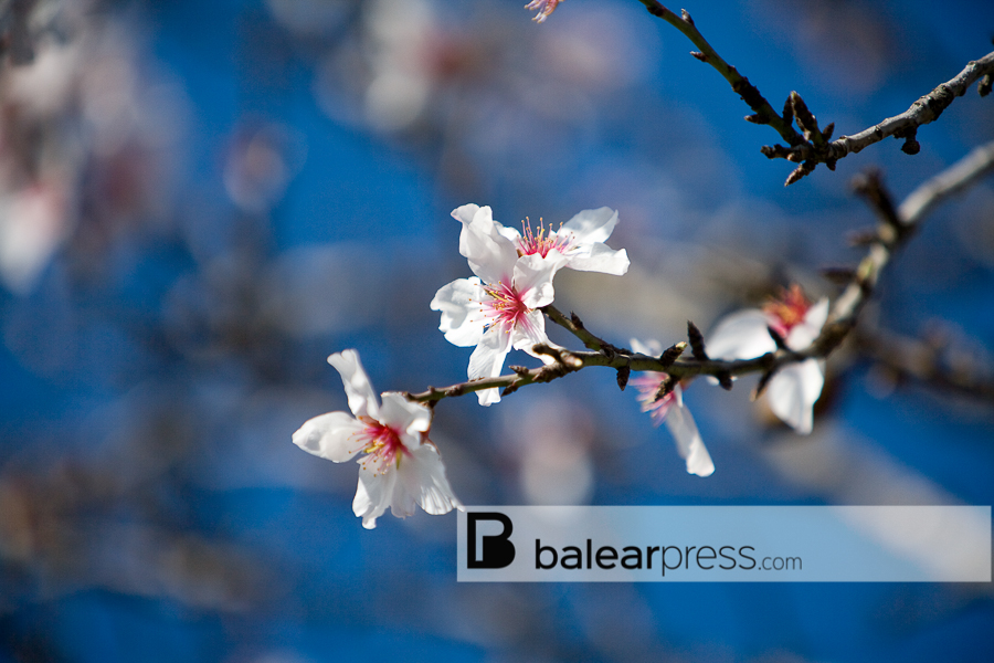 Mandelblüte Andratx, Mallorca